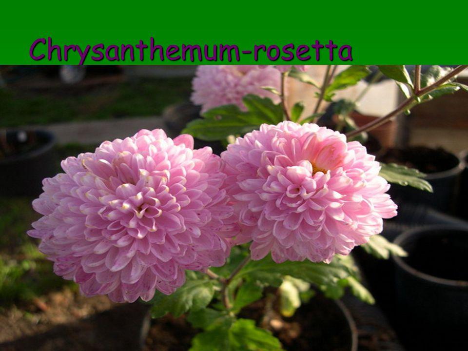 Chrysanthemum-rosetta