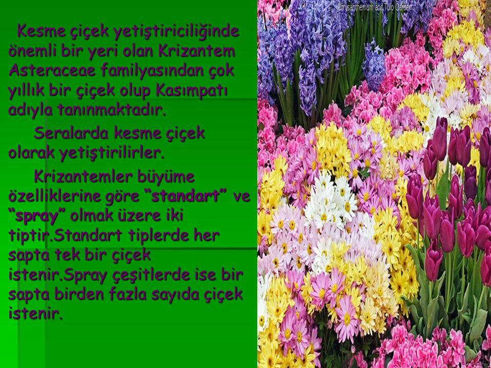 Kesme çiçek yetiştiriciliğinde önemli bir yeri olan Krizantem Asteraceae familyasından çok yıllık bir çiçek olup Kasımpatı adıyla tanınmaktadır. Kesme