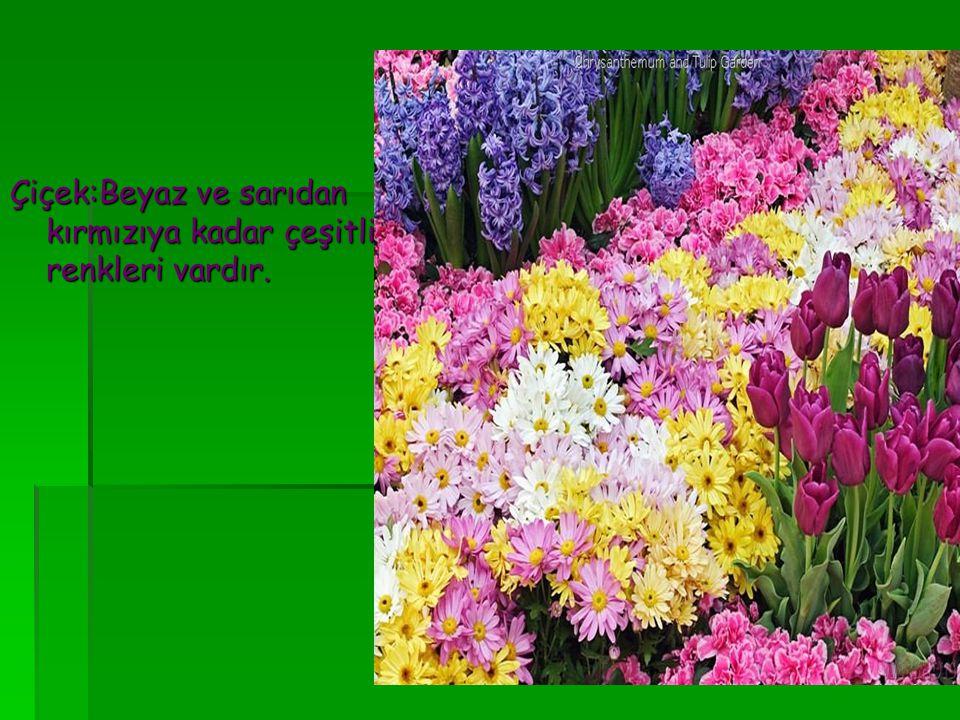 Çiçek:Beyaz ve sarıdan kırmızıya kadar çeşitli renkleri vardır.