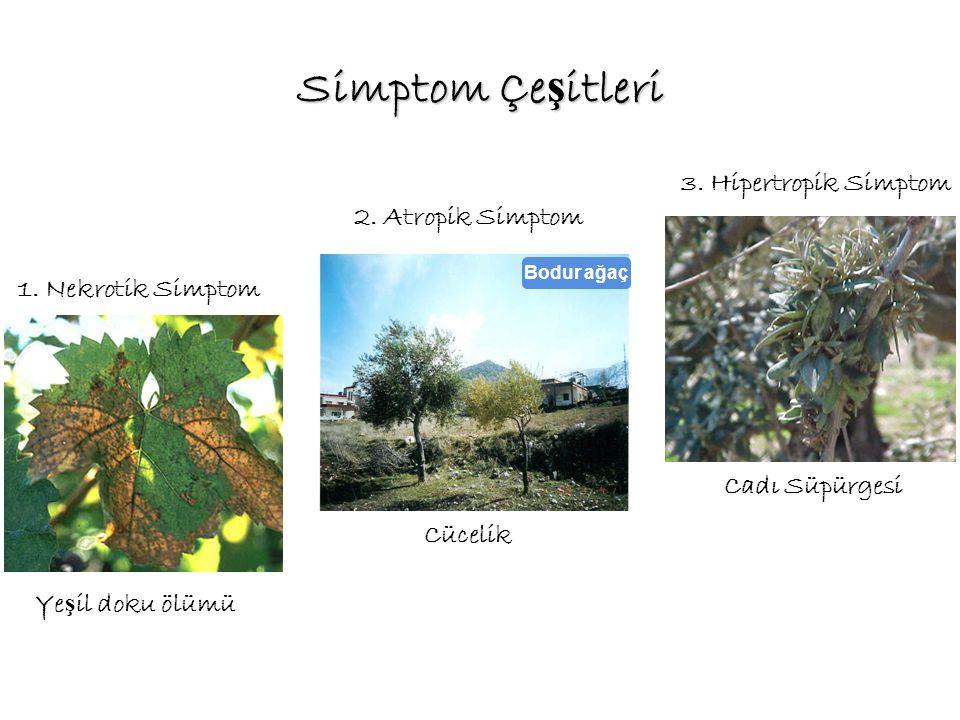 Simptom Çe ş itleri 1. Nekrotik Simptom Ye ş il doku ölümü 2. Atropik Simptom Cücelik 3. Hipertropik Simptom Cadı Süpürgesi Bodur ağaç