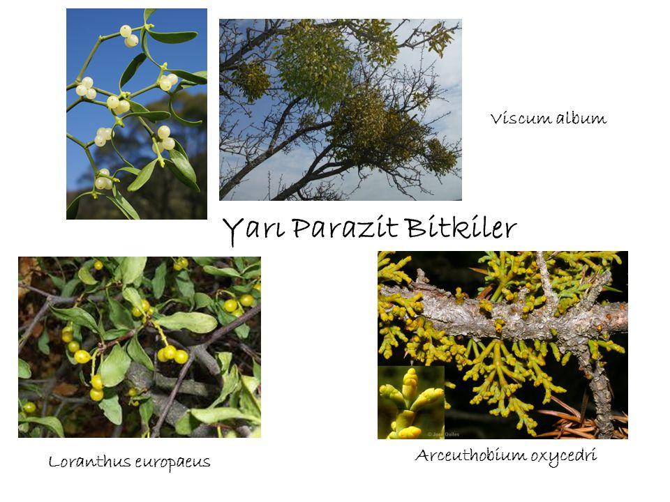 Yarı Parazit Bitkiler Viscum album Loranthus europaeus Arceuthobium oxycedri