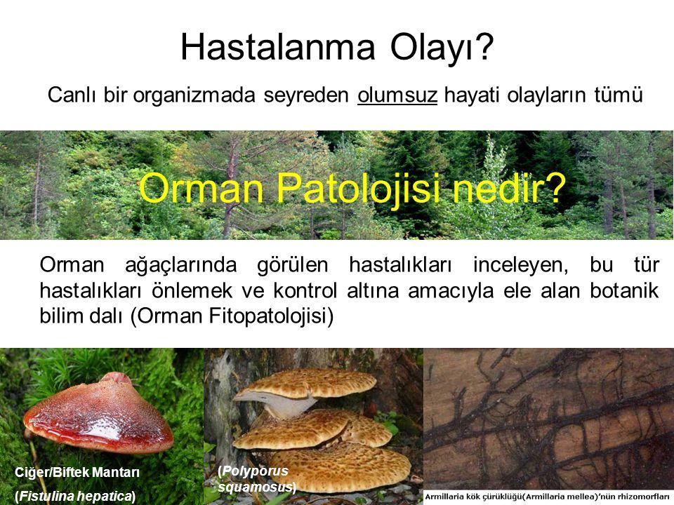 Hastalanma Olayı? Canlı bir organizmada seyreden olumsuz hayati olayların tümü Orman Patolojisi nedir? Orman ağaçlarında görülen hastalıkları inceleye