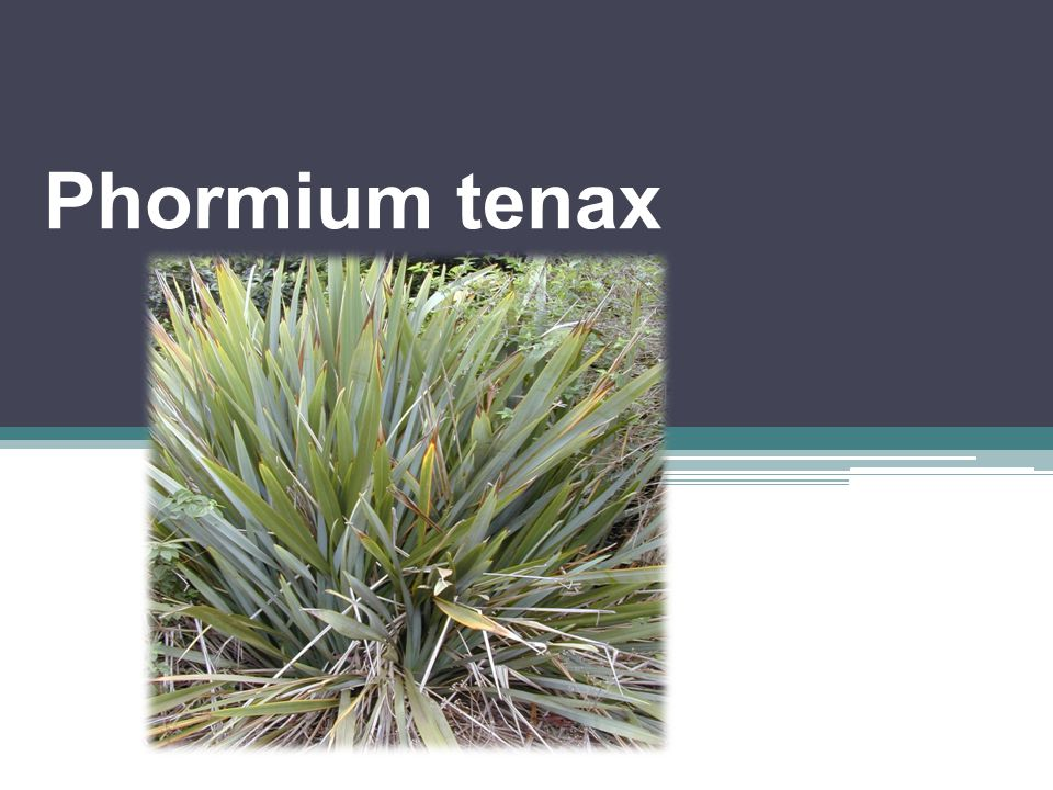 Familya : Phormiaceae