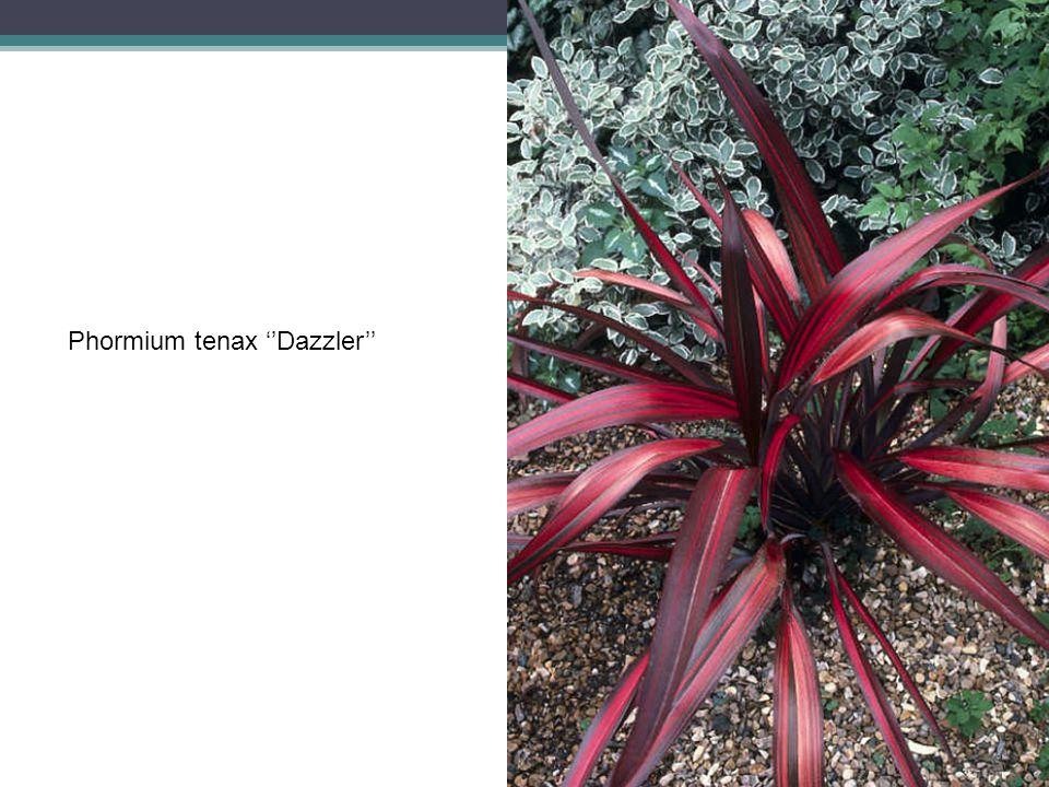 Phormium tenax ''Dazzler''