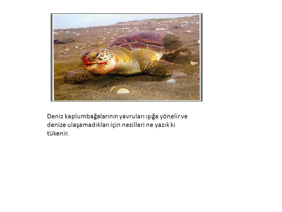 Deniz kaplumbağalarının yavruları ışığa yönelir ve denize ulaşamadıkları için nesilleri ne yazık ki tükenir.