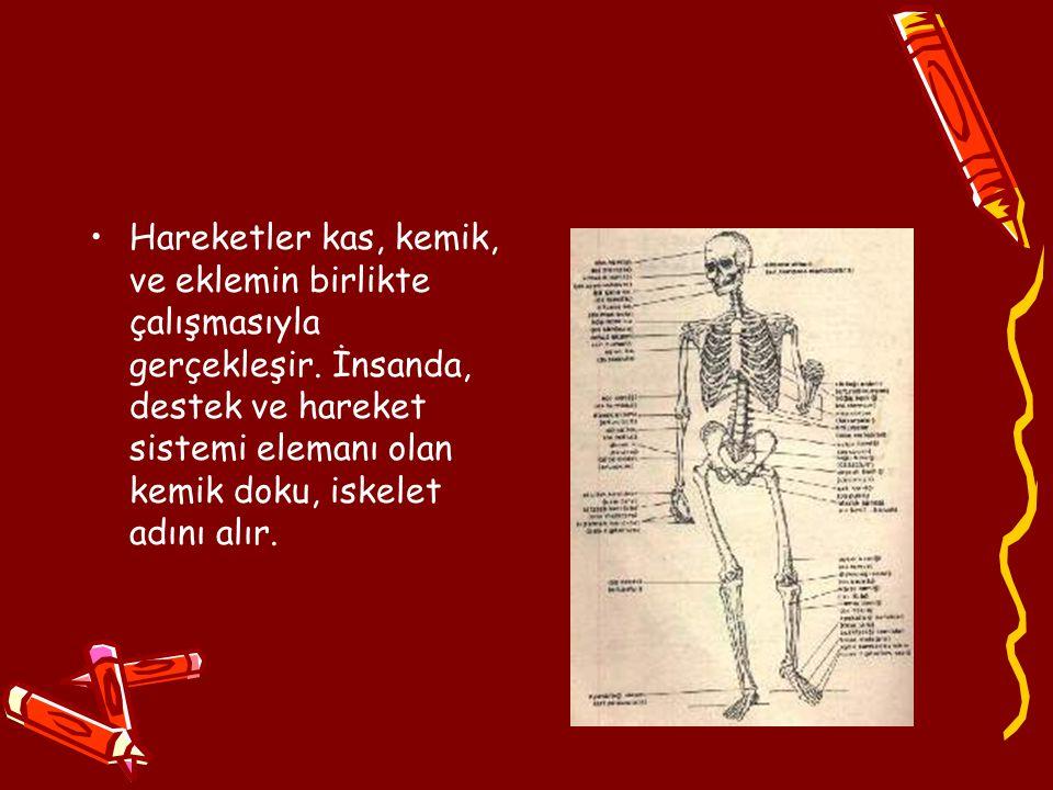 Hareketler kas, kemik, ve eklemin birlikte çalışmasıyla gerçekleşir. İnsanda, destek ve hareket sistemi elemanı olan kemik doku, iskelet adını alır.