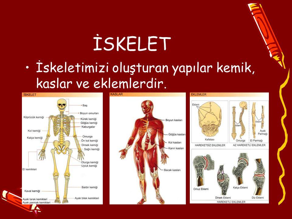 İSKELET İskeletimizi oluşturan yapılar kemik, kaslar ve eklemlerdir.