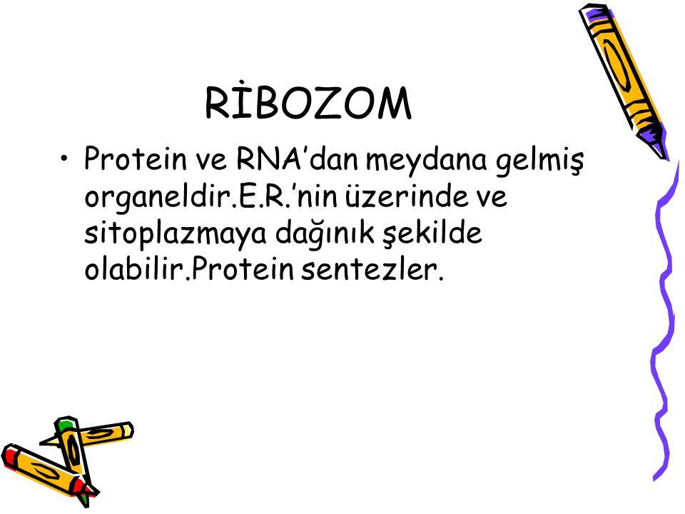 RİBOZOM Protein ve RNA'dan meydana gelmiş organeldir.E.R.'nin üzerinde ve sitoplazmaya dağınık şekilde olabilir.Protein sentezler.