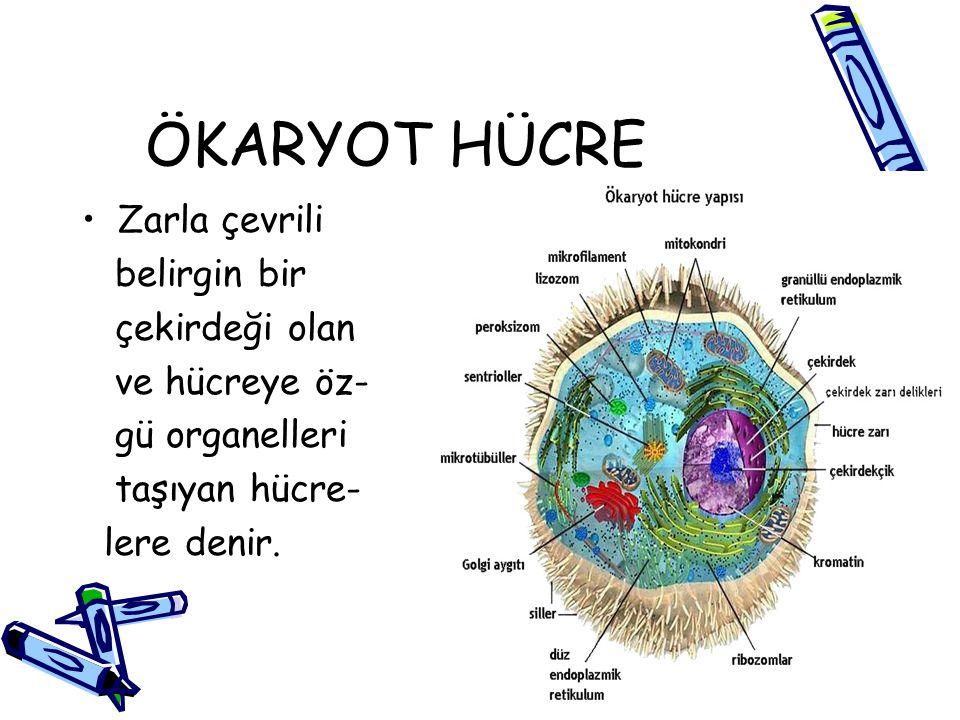 ÖKARYOT HÜCRE Zarla çevrili belirgin bir çekirdeği olan ve hücreye öz- gü organelleri taşıyan hücre- lere denir.
