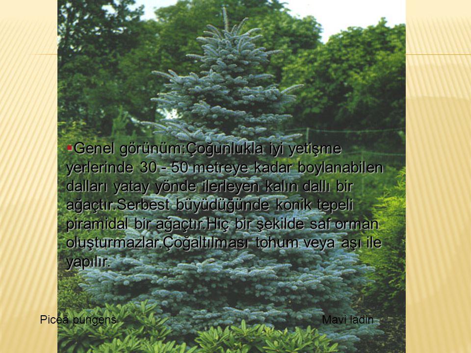 Picea pungensMavi ladin  Genel görünüm:Çoğunlukla iyi yetişme yerlerinde 30 - 50 metreye kadar boylanabilen dalları yatay yönde ilerleyen kalın dallı