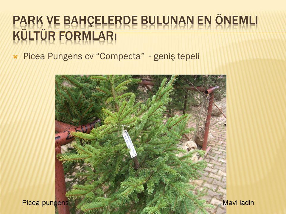 " Picea Pungens cv ""Compecta"" - geniş tepeli Picea pungensMavi ladin"