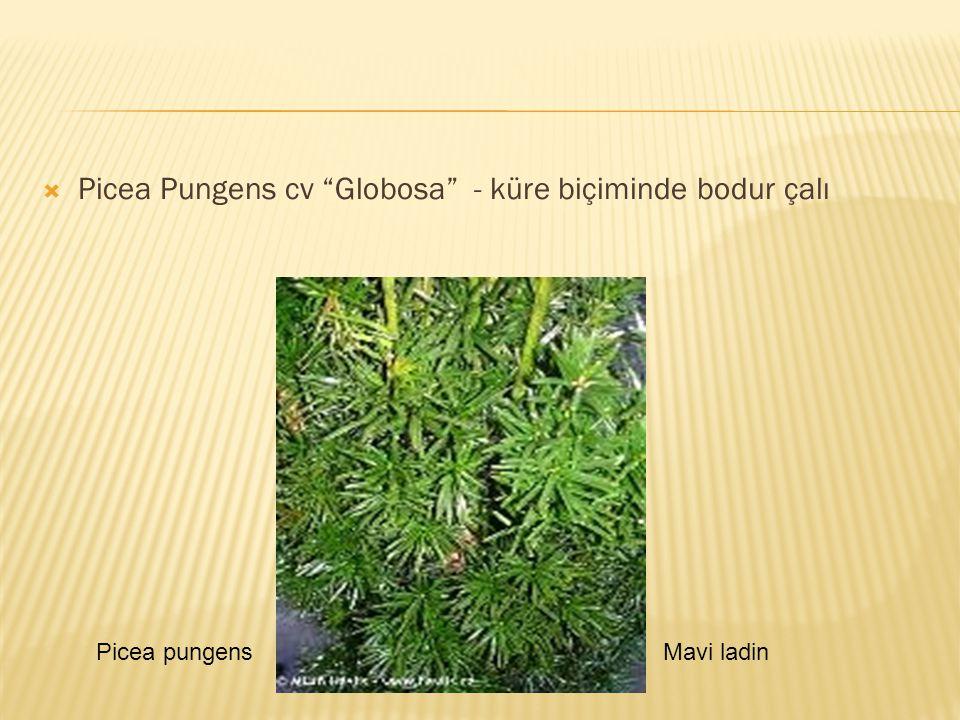 " Picea Pungens cv ""Globosa"" - küre biçiminde bodur çalı Picea pungensMavi ladin"