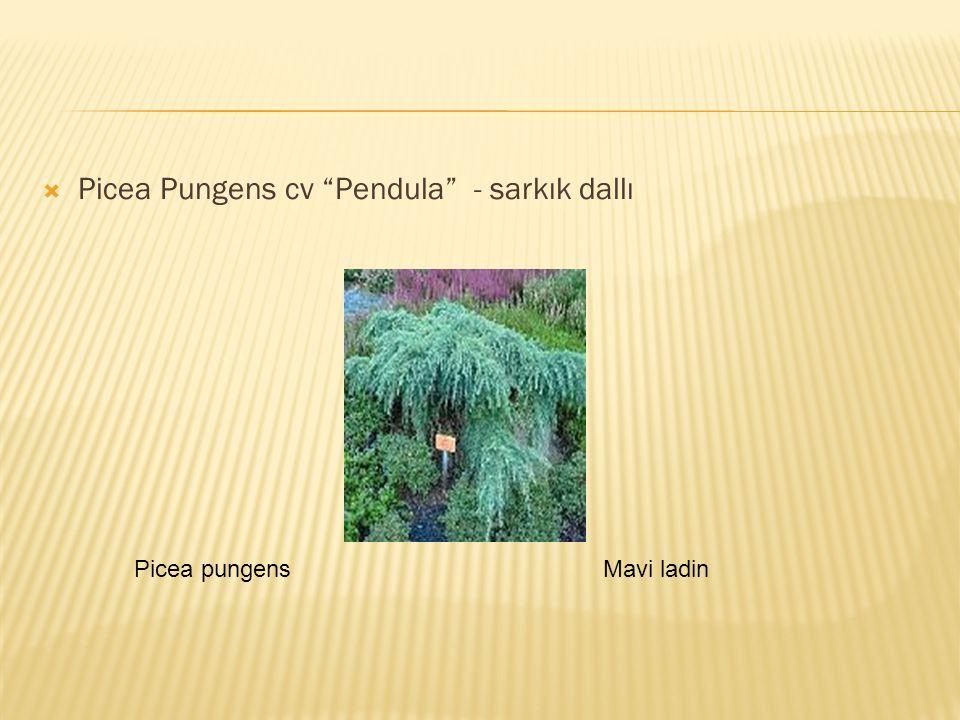 " Picea Pungens cv ""Pendula"" - sarkık dallı Picea pungensMavi ladin"