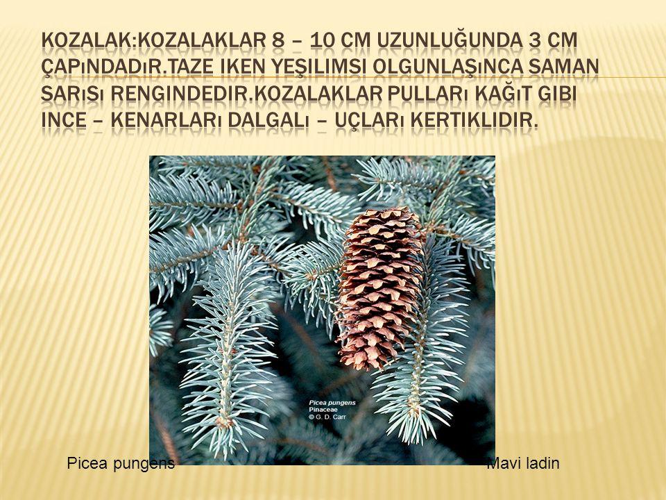 Picea pungensMavi ladin