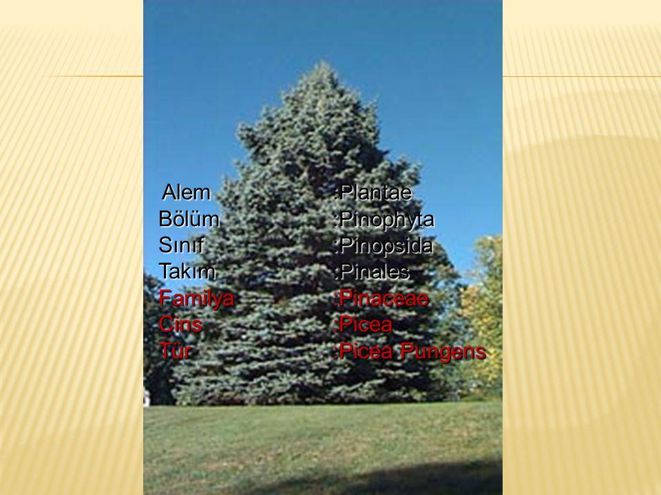 Alem:Plantae Alem:Plantae Bölüm:Pinophyta Bölüm:Pinophyta Sınıf:Pinopsida Sınıf:Pinopsida Takım:Pinales Takım:Pinales Familya:Pinaceae Familya:Pinacea