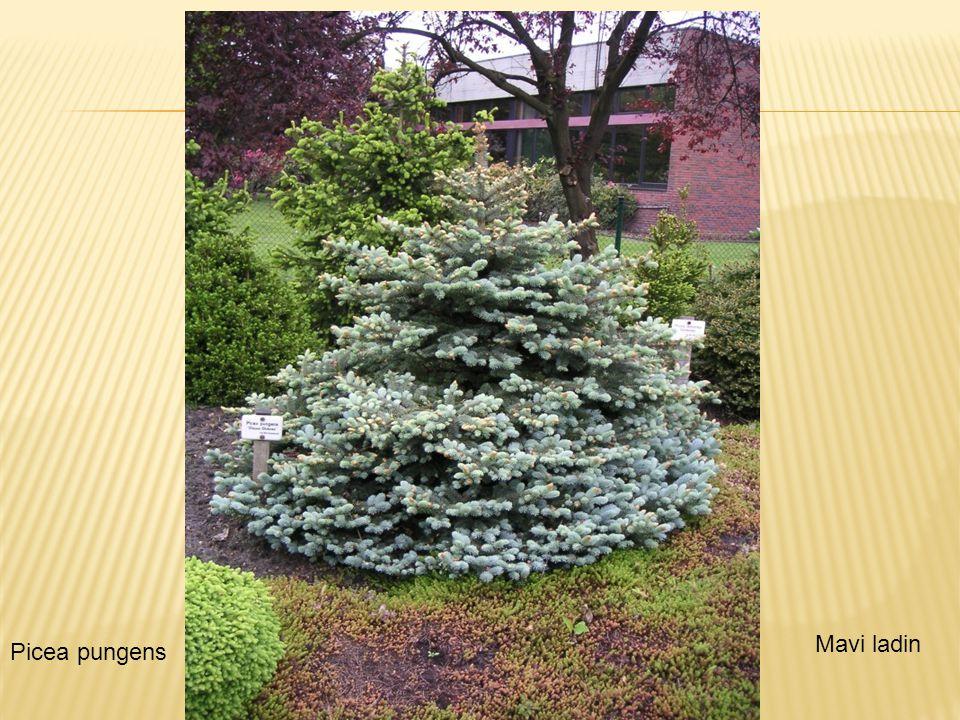  Picea Pungens cv Compecta - geniş tepeli Picea pungensMavi ladin