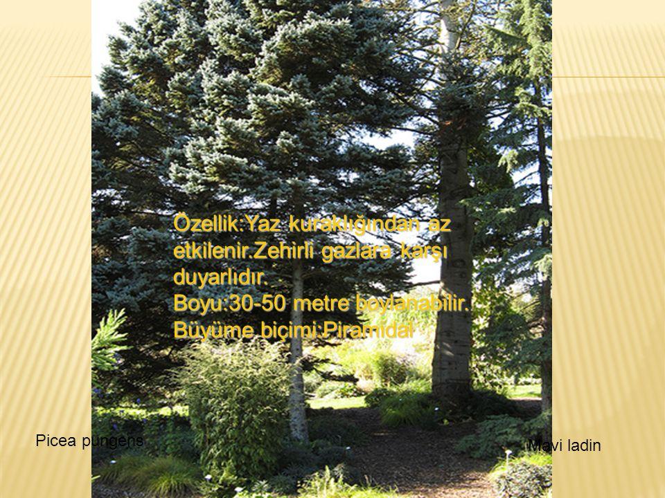 Özellik:Yaz kuraklığından az etkilenir.Zehirli gazlara karşı duyarlıdır. Boyu:30-50 metre boylanabilir. Büyüme biçimi:Piramidal Picea pungens Mavi lad