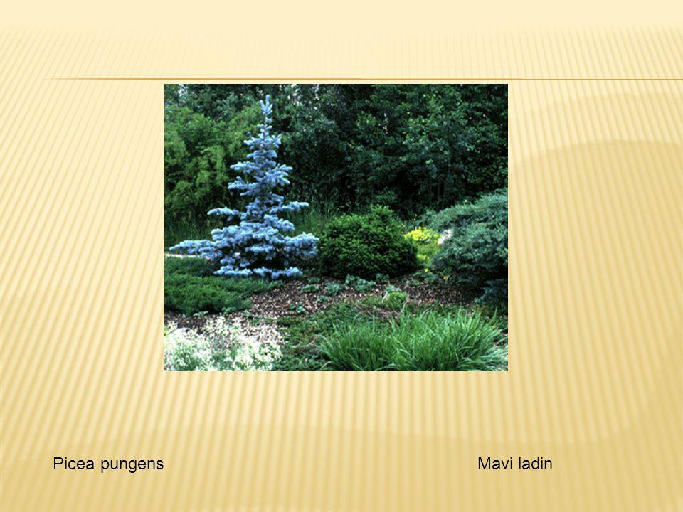  Picea Pungens cv Pendula - sarkık dallı Picea pungensMavi ladin