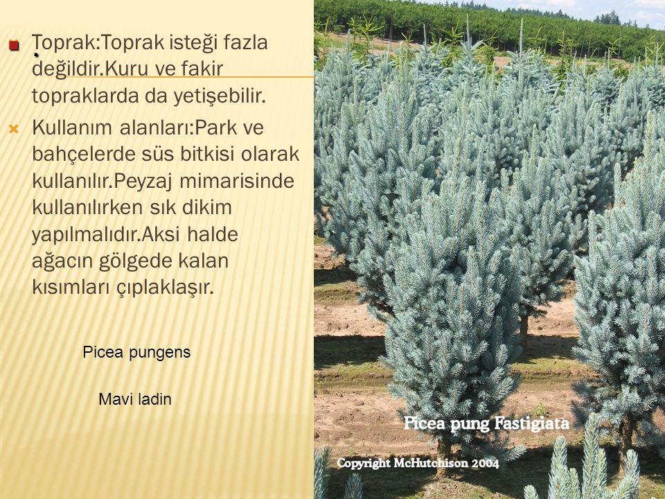  Toprak:Toprak isteği fazla değildir.Kuru ve fakir topraklarda da yetişebilir.  Kullanım alanları:Park ve bahçelerde süs bitkisi olarak kullanılır.P