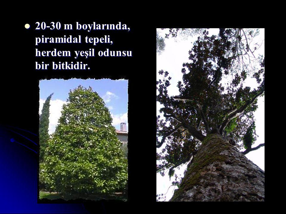 20-30 m boylarında, piramidal tepeli, herdem yeşil odunsu bir bitkidir. 20-30 m boylarında, piramidal tepeli, herdem yeşil odunsu bir bitkidir.