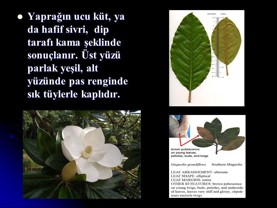 Yaprağın ucu küt, ya da hafif sivri, dip tarafı kama şeklinde sonuçlanır. Üst yüzü parlak yeşil, alt yüzünde pas renginde sık tüylerle kaplıdır. Yapra