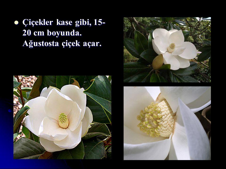 Çiçekler kase gibi, 15- 20 cm boyunda. Ağustosta çiçek açar. Çiçekler kase gibi, 15- 20 cm boyunda. Ağustosta çiçek açar.