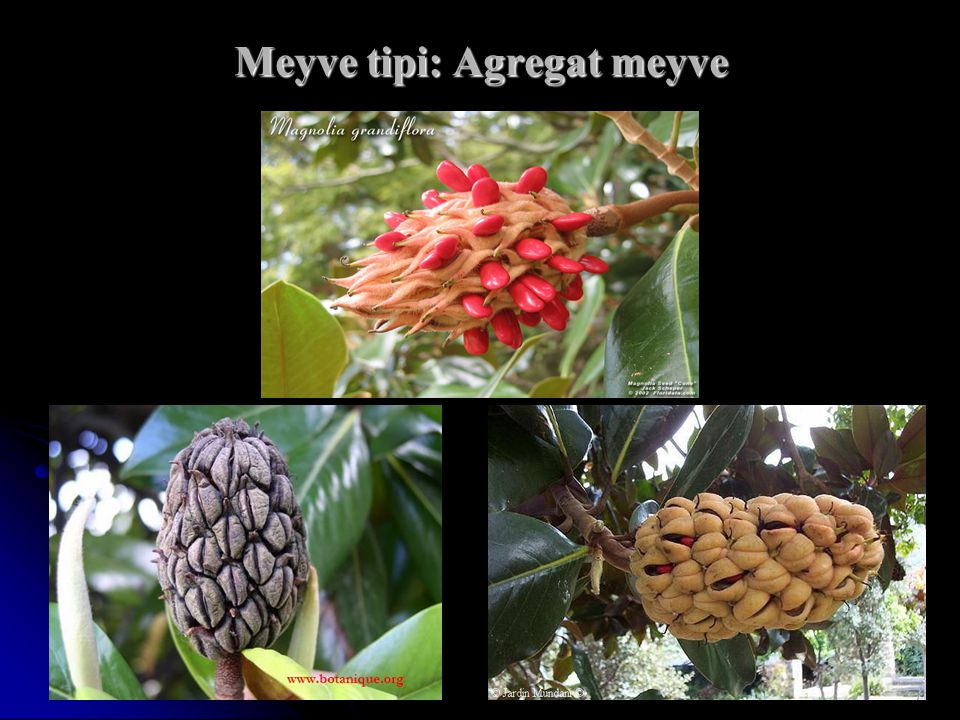 Meyve tipi: Agregat meyve