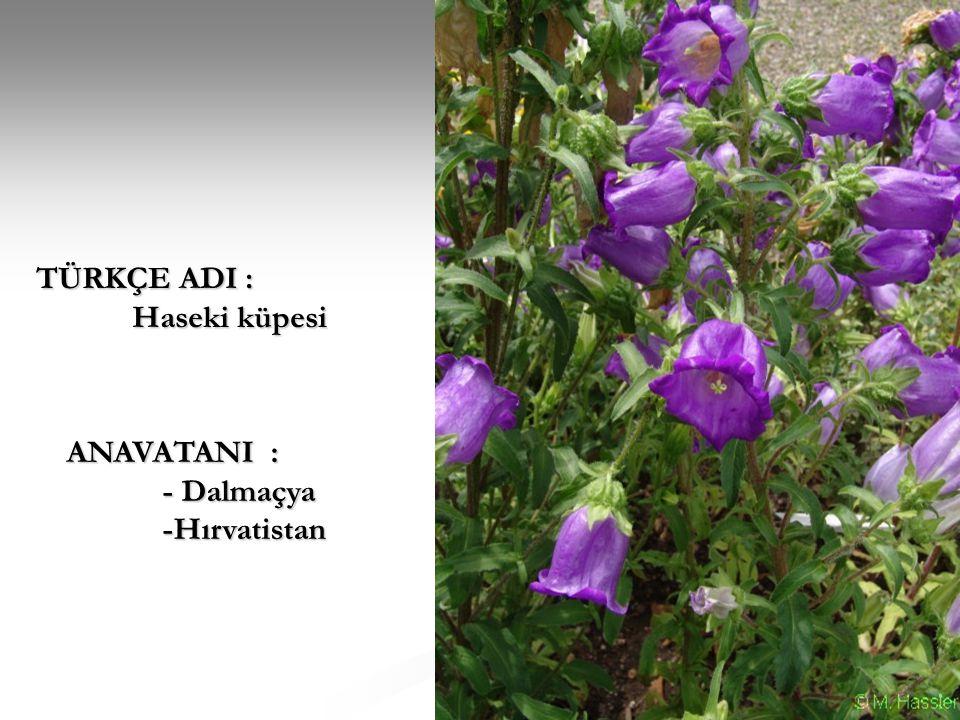 BİTKİ TİPİ : Boylu bir bitki olup tek başına kullanımında dikkat çekmektedir.