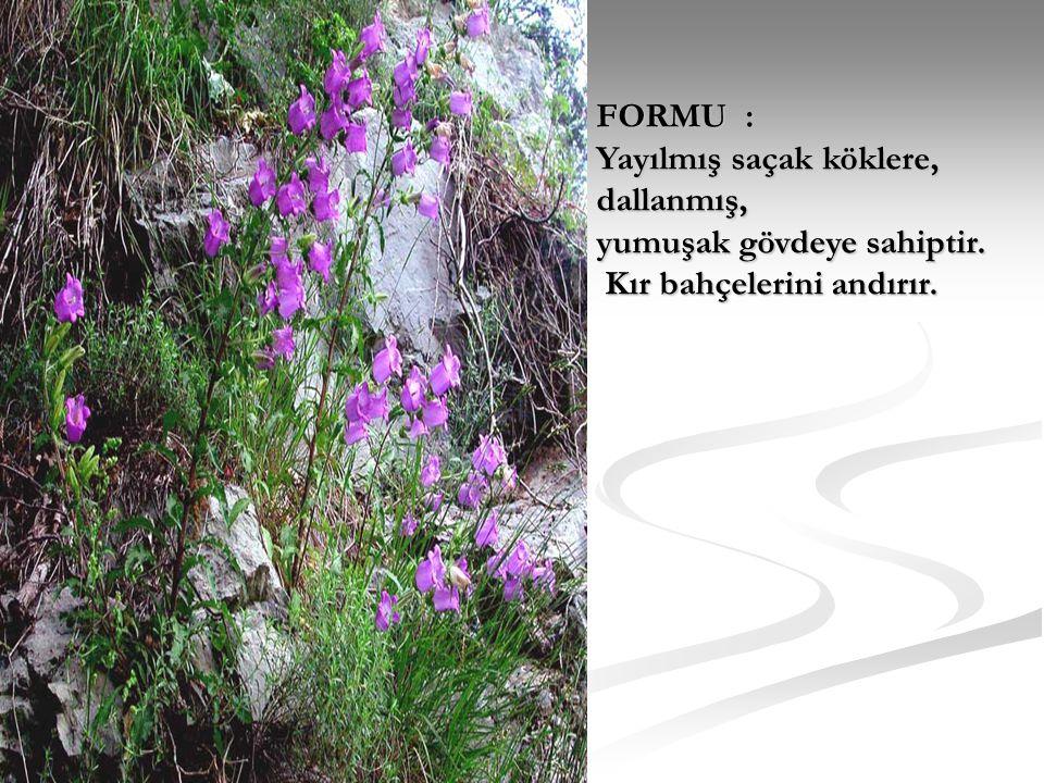 FORMU : Yayılmış saçak köklere, dallanmış, yumuşak gövdeye sahiptir. Kır bahçelerini andırır.