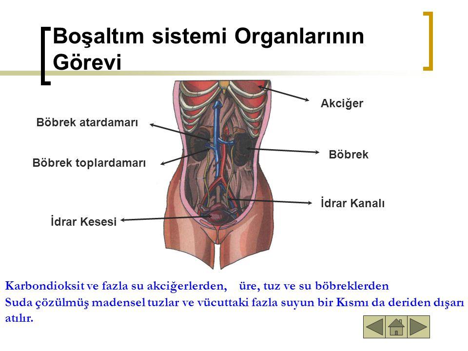 Boşaltım sistemi Organlarının Görevi Böbrek atardamarı Böbrek toplardamarı Akciğer Böbrek İdrar Kanalı İdrar Kesesi Karbondioksit ve fazla su akciğerlerden,üre, tuz ve su böbreklerden Suda çözülmüş madensel tuzlar ve vücuttaki fazla suyun bir Kısmı da deriden dışarı atılır.