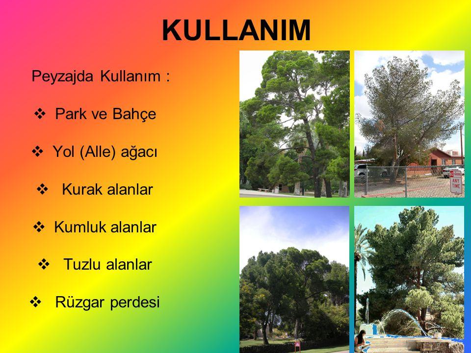 KULLANIM Peyzajda Kullanım :  Park ve Bahçe  Yol (Alle) ağacı  Kurak alanlar  Kumluk alanlar  Tuzlu alanlar  Rüzgar perdesi