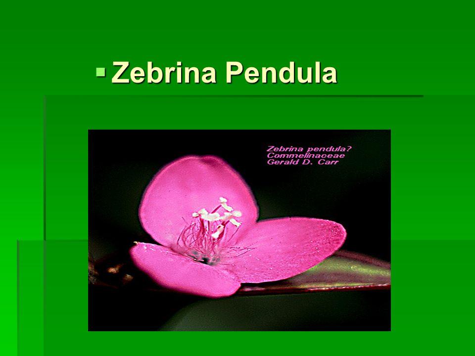  Zebrina Pendula