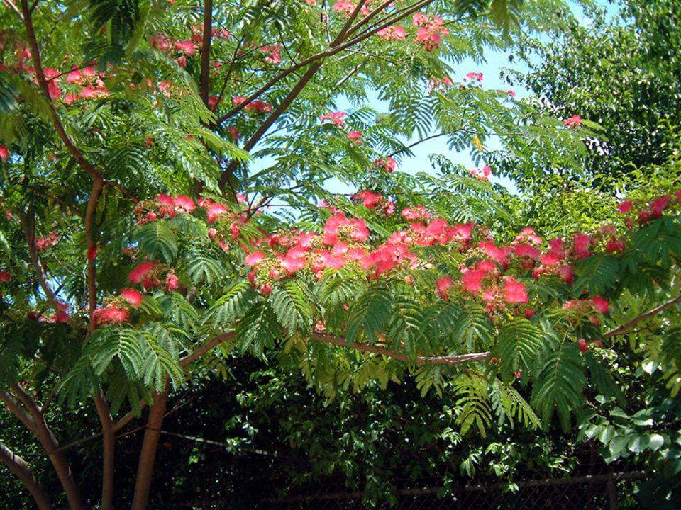 EKOLOJİK İSTEKLERİ Sıcaklık : Sıcak iklim bitkisidir.