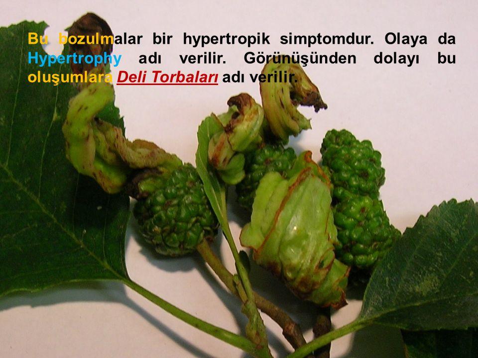 Bu bozulmalar bir hypertropik simptomdur. Olaya da Hypertrophy adı verilir. Görünüşünden dolayı bu oluşumlara Deli Torbaları adı verilir.