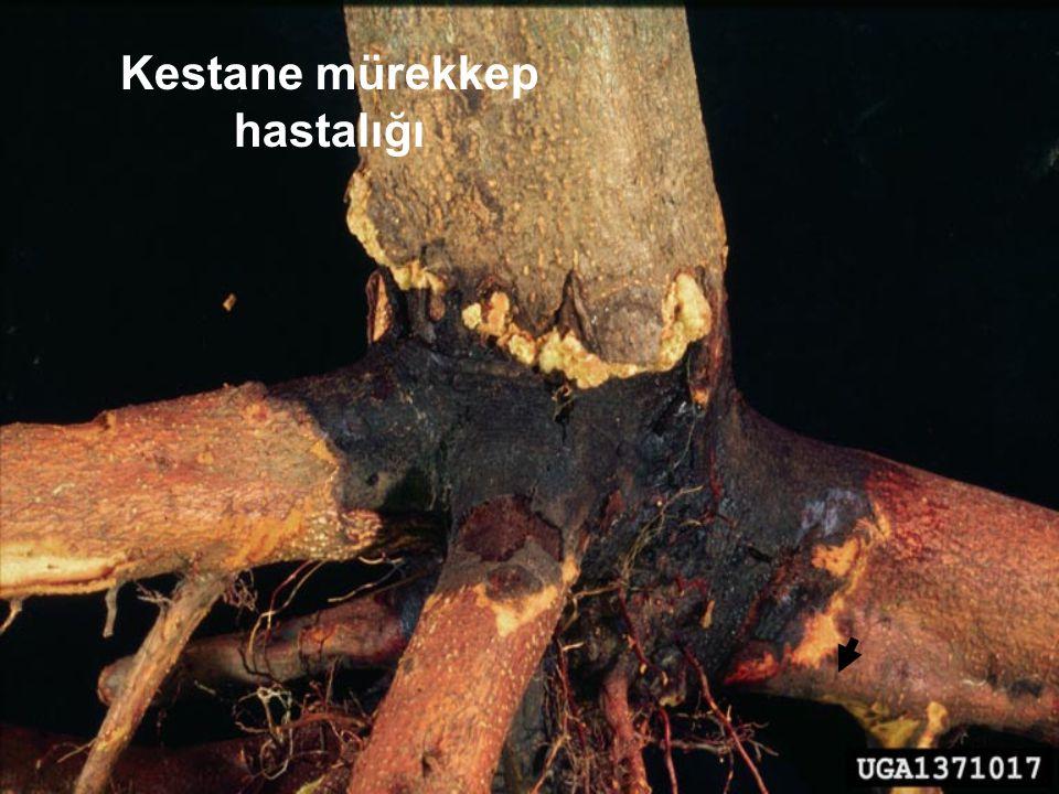 2. Quercus coccifera