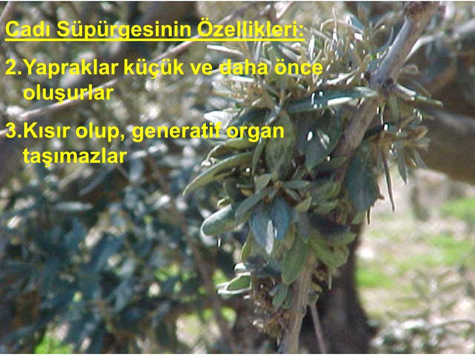 Cadı Süpürgesinin Özellikleri: 2.Yapraklar küçük ve daha önce oluşurlar 3.Kısır olup, generatif organ taşımazlar