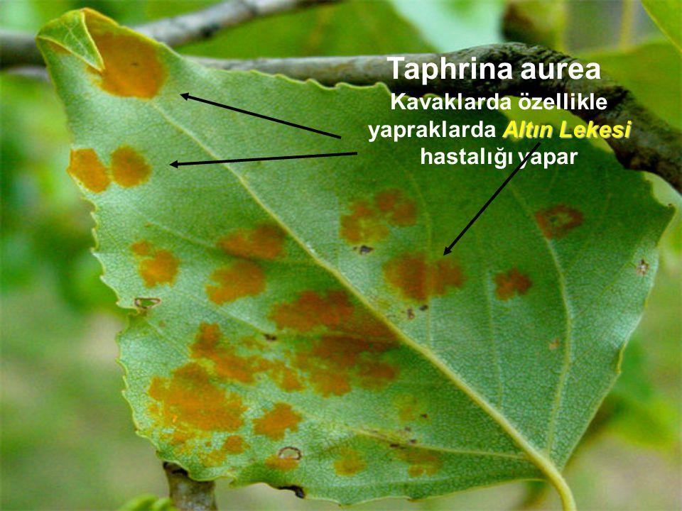 Taphrina aurea Altın Lekesi Kavaklarda özellikle yapraklarda Altın Lekesi hastalığı yapar
