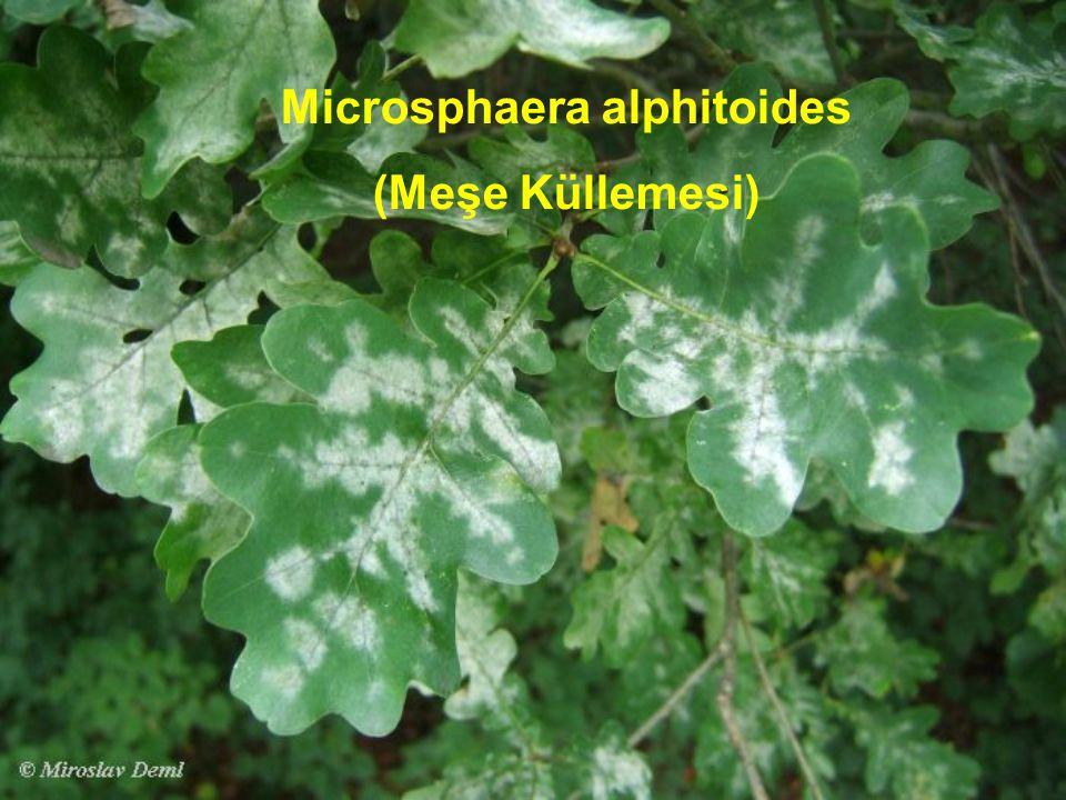 Microsphaera alphitoides (Meşe Küllemesi)