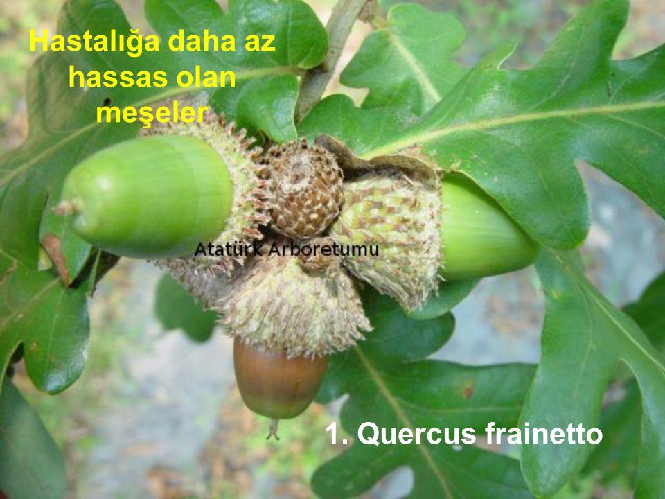 1. Quercus frainetto Hastalığa daha az hassas olan meşeler