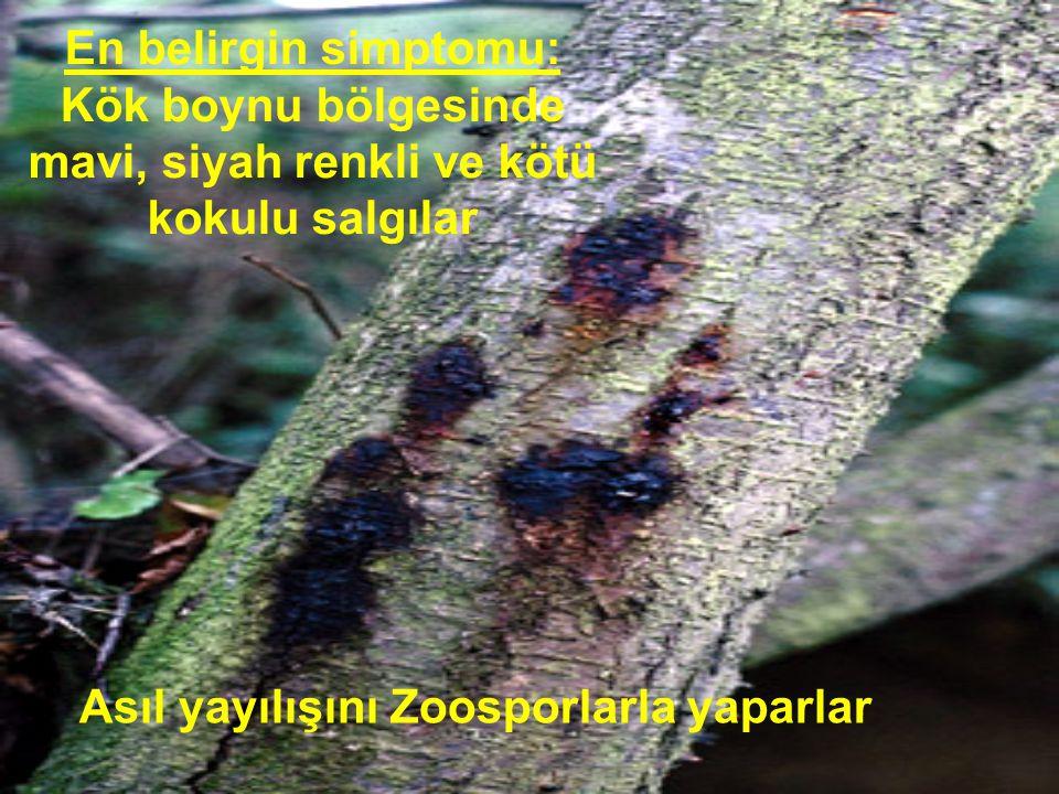 En belirgin simptomu: Kök boynu bölgesinde mavi, siyah renkli ve kötü kokulu salgılar Asıl yayılışını Zoosporlarla yaparlar
