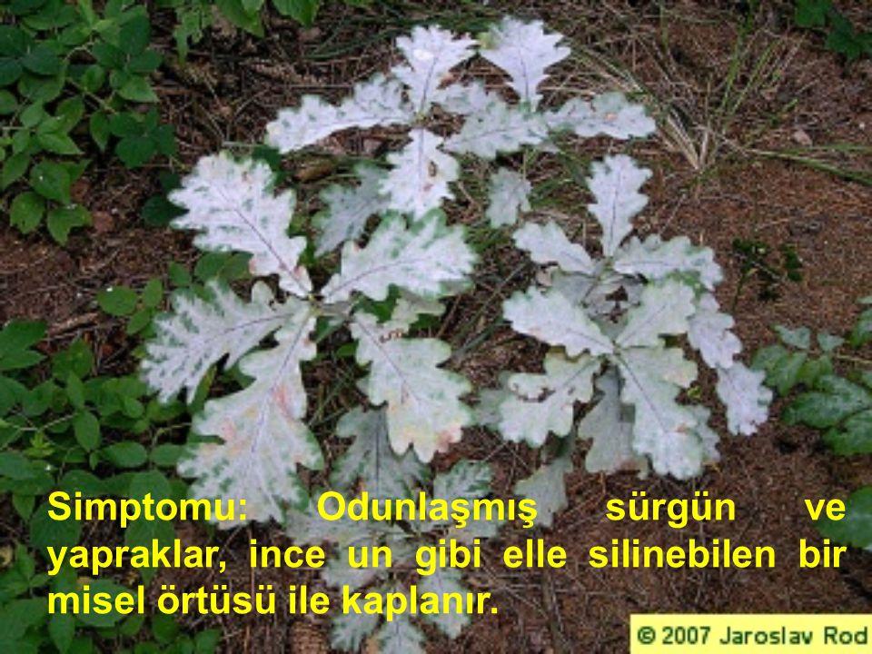Simptomu: Odunlaşmış sürgün ve yapraklar, ince un gibi elle silinebilen bir misel örtüsü ile kaplanır.