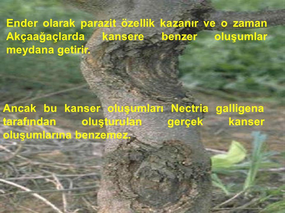 Ender olarak parazit özellik kazanır ve o zaman Akçaağaçlarda kansere benzer oluşumlar meydana getirir. Ancak bu kanser oluşumları Nectria galligena t