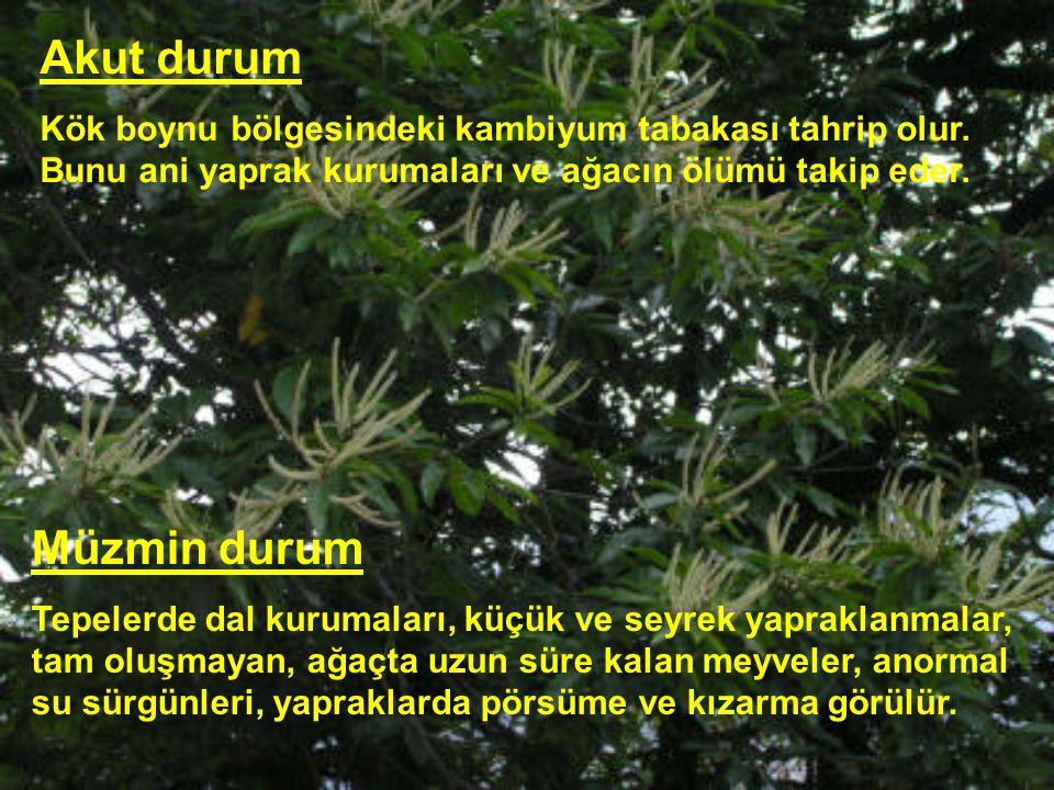 Akut durum Kök boynu bölgesindeki kambiyum tabakası tahrip olur. Bunu ani yaprak kurumaları ve ağacın ölümü takip eder. Müzmin durum Tepelerde dal kur