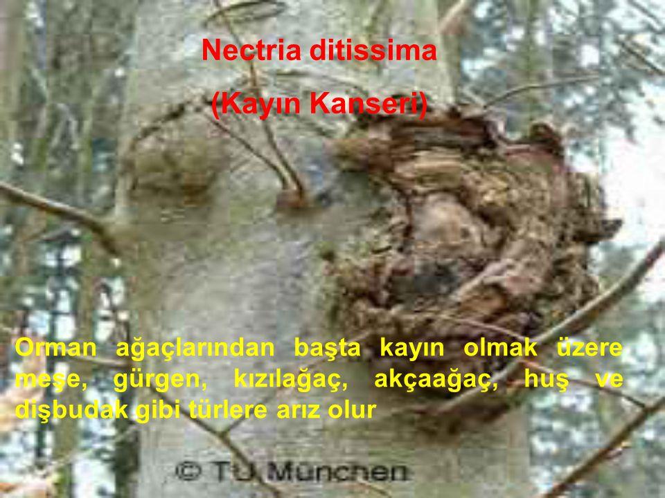 Nectria ditissima (Kayın Kanseri) Orman ağaçlarından başta kayın olmak üzere meşe, gürgen, kızılağaç, akçaağaç, huş ve dişbudak gibi türlere arız olur