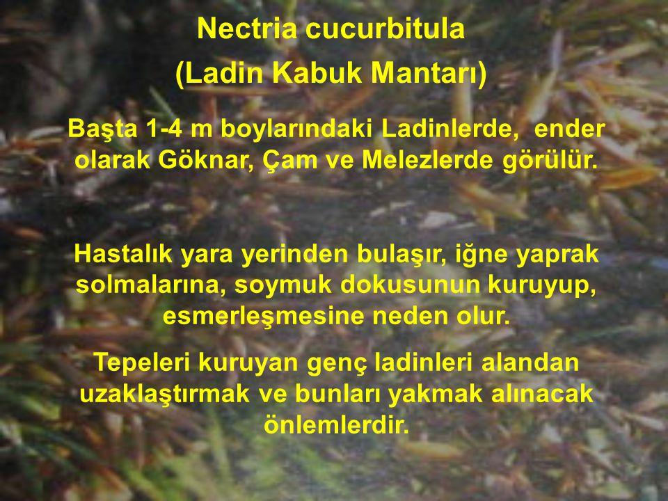 Nectria cucurbitula (Ladin Kabuk Mantarı) Başta 1-4 m boylarındaki Ladinlerde, ender olarak Göknar, Çam ve Melezlerde görülür. Hastalık yara yerinden
