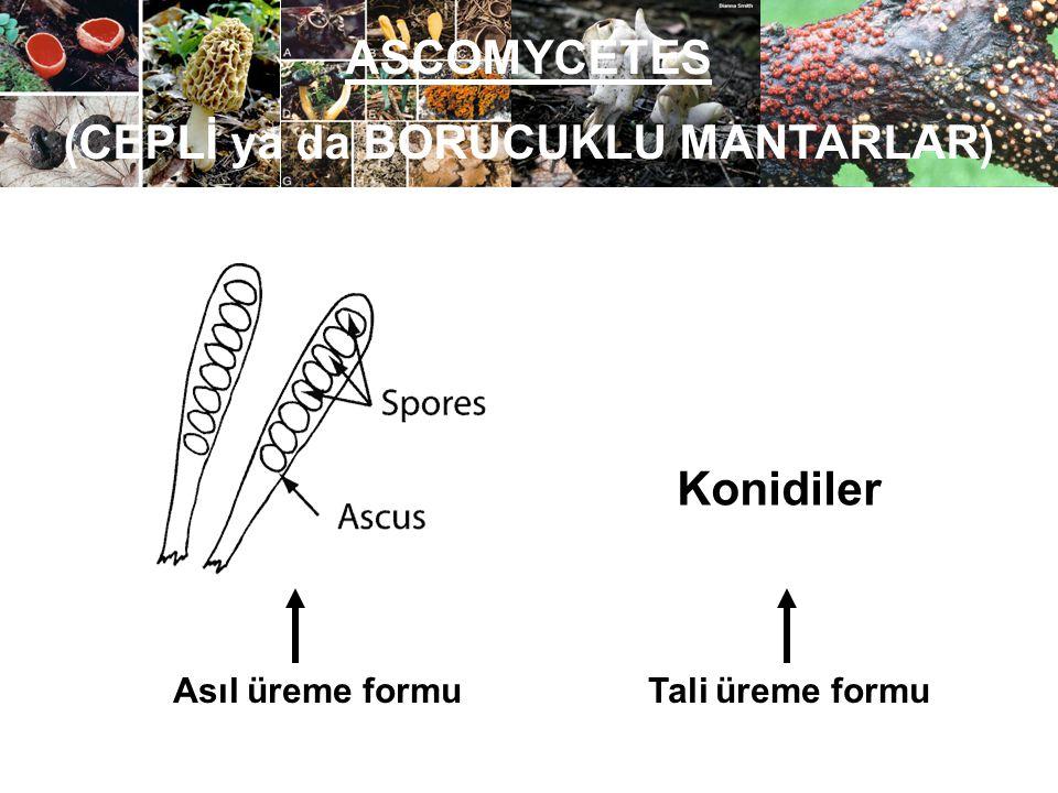 ASCOMYCETES (CEPLİ ya da BORUCUKLU MANTARLAR) Asıl üreme formu Tali üreme formu Konidiler