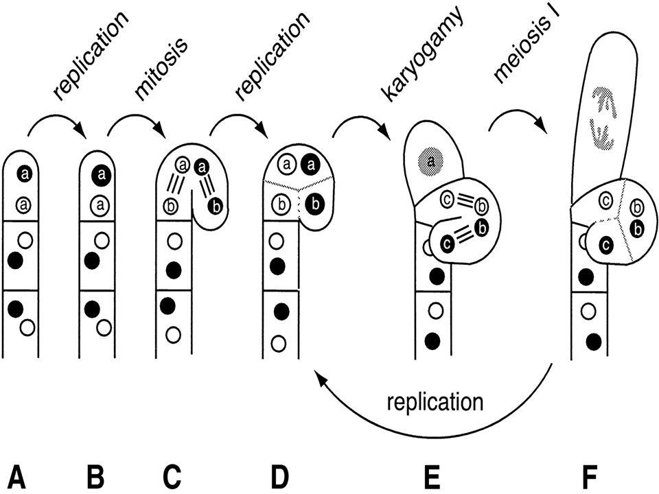 Ascomycetes'lerde üreme organı oluşumu