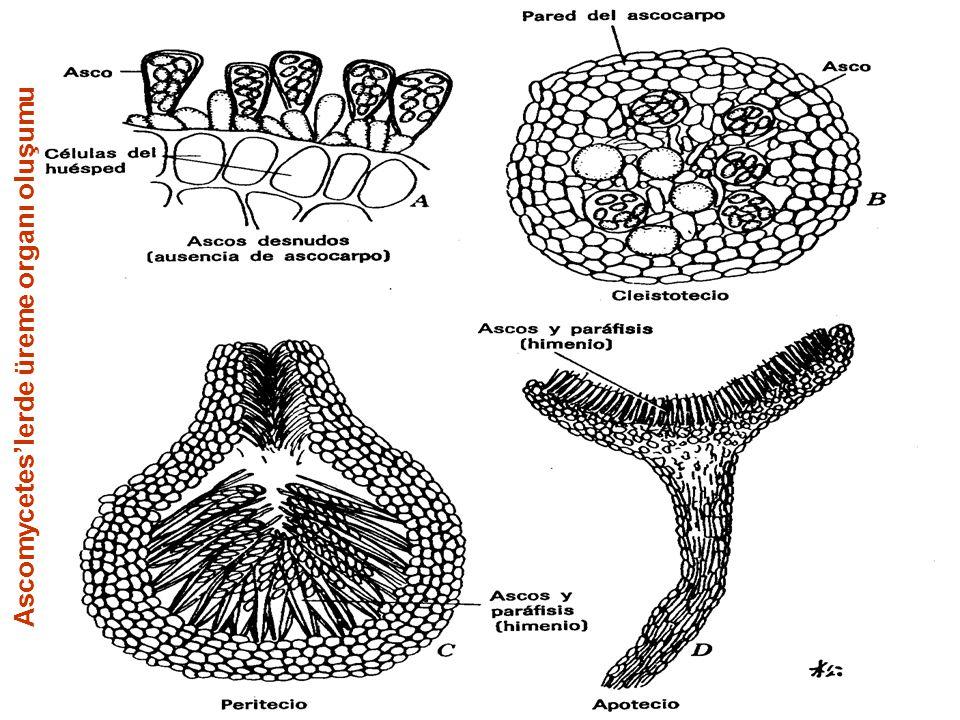 Gerçek kanser oluşumuna Nectria galligena mantarı tarafından salgılanan Indol-asetic asit neden olmaktadır.