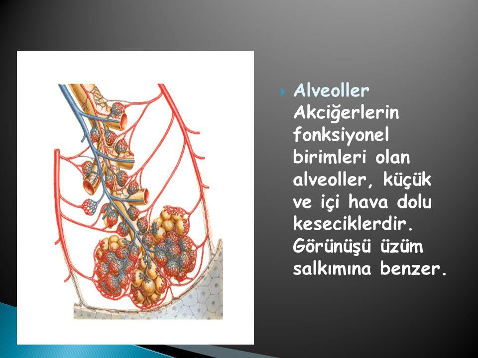  Alveoller Akciğerlerin fonksiyonel birimleri olan alveoller, küçük ve içi hava dolu keseciklerdir. Görünüşü üzüm salkımına benzer.