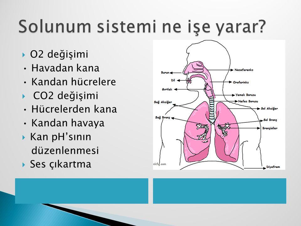  O2 değişimi Havadan kana Kandan hücrelere  CO2 değişimi Hücrelerden kana Kandan havaya  Kan pH'sının düzenlenmesi  Ses çıkartma